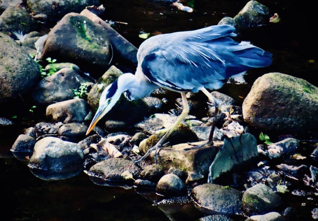 Hunting heron, 27/9/21