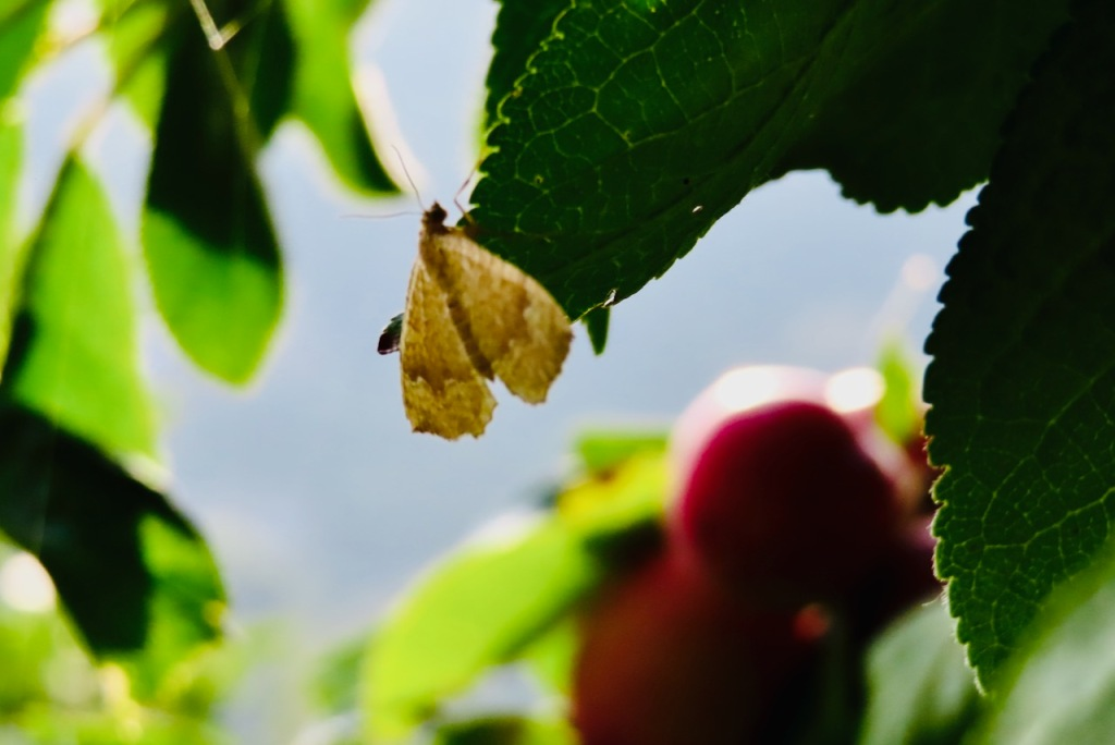 Moth with plums, 6/9/21