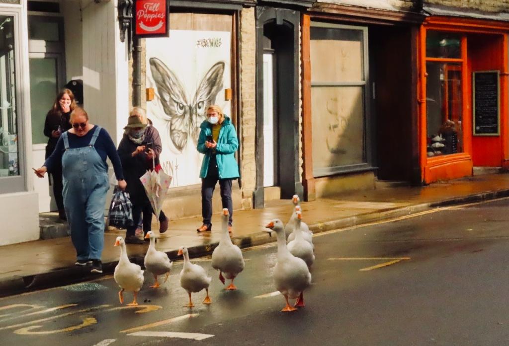 Geese crossing, 20/10/21
